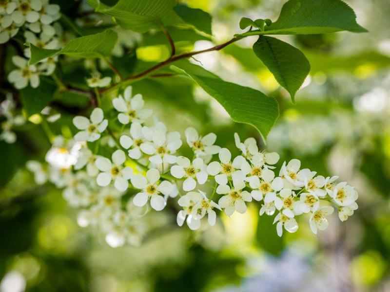Traubenkirsche in der Blüte