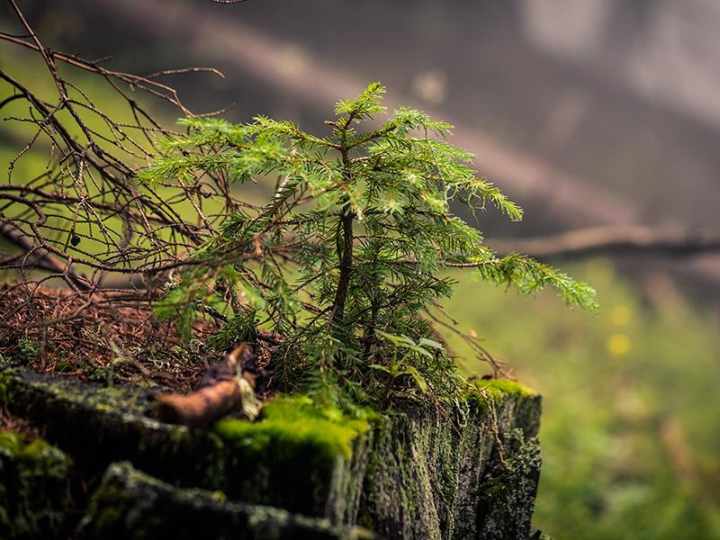 Verjüngung auf Totholz
